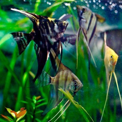 Pterophyllum Scalare Assorted Angelfish