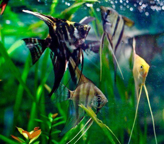 Pterophyllum Scalare Assorted Angelfish