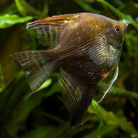 Pterophyllum Scalare Chocolate Angelfish