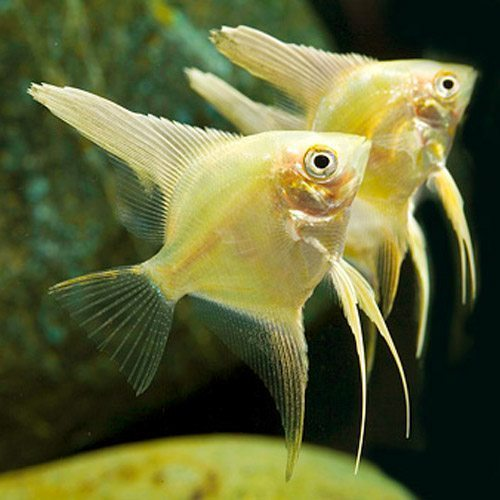 Pterophyllum Scalare Gold Angelfish