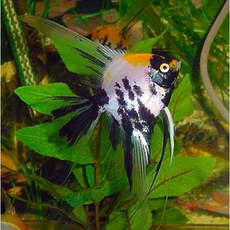 Pterophyllum Scalare Koi Veil Angelfish