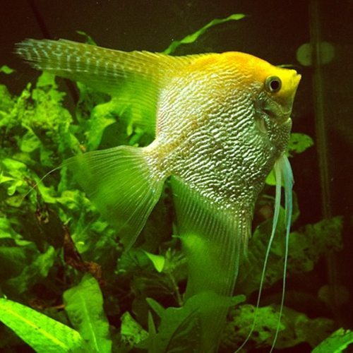 Pterophyllum Scalare Pearlscale Gold Angelfish