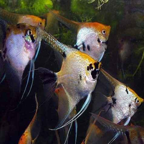 Pterophyllum Scalare Pearlscale Marble Angelfish