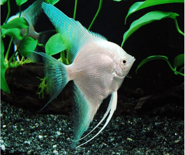 Angelfish | Pterophyllum Scalare Platinum Blue Angelfish Arizona Aquatic Gardens