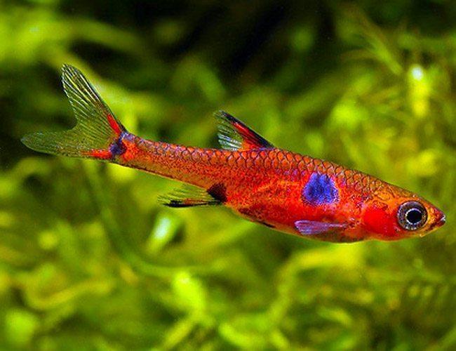 Asian cardinal rasbora drug