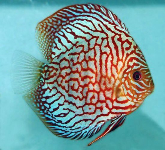 Red Carnation Discus