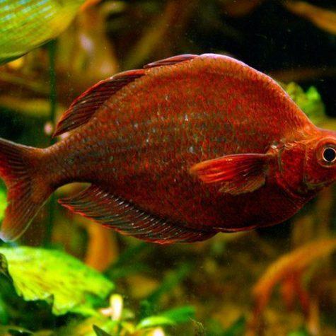 Red Irian Rainbowfish