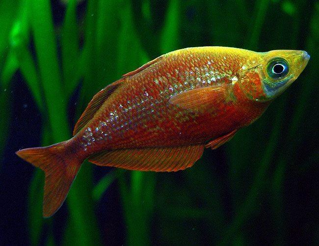 Red irian breeder size rainbowfish arizona aquatic gardens for Tropical rainbow fish