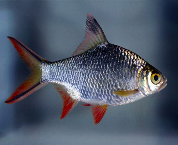 Red tail tinfoil barb large size tropical fish arizona for Tin foil fish