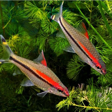 Redline Torpedo Barb Tropical Fish