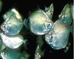 Miscellaneous Schooling Fish
