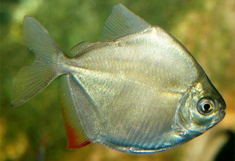 Banded knifefish arizona aquatic gardens for Silver dollar fish tankmates