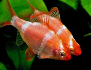 Strawberry Tiger Barb Tropical Fish