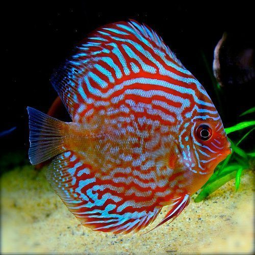 Discus Fish For Sale Toronto