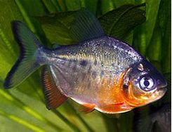 Testosterone Fish
