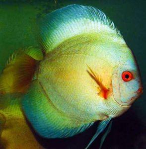 Thailand Large Ocean Green Discus Fish