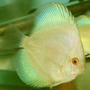 Thailand Ocean Green Discus Fish