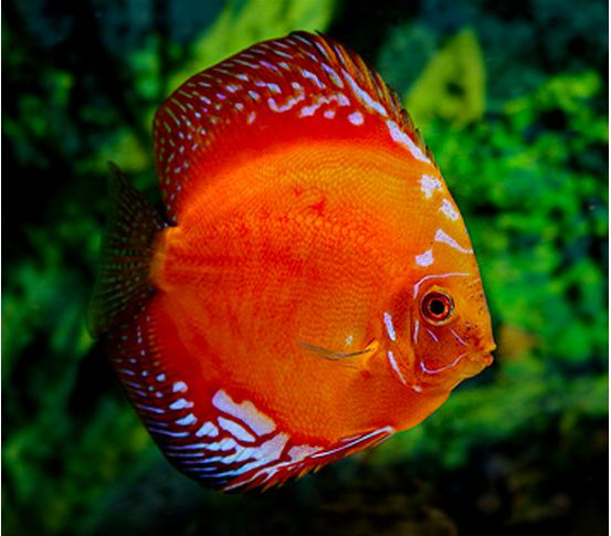 Thailand large red marlboro discus fish arizona aquatic for Red saltwater fish