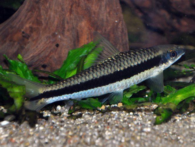 True siamese jumbo algae eating fish arizona aquatic gardens for Algae eating fish for ponds