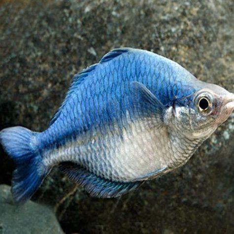 Turquoise Rainbowfish Tropical Fish