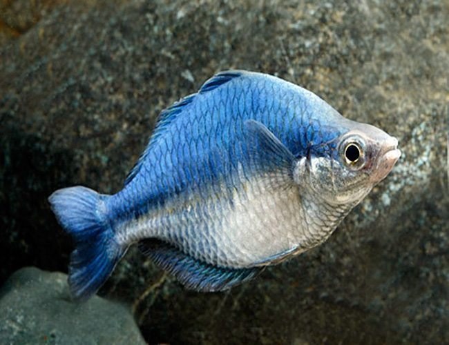 Turquoise rainbowfish tropical fish arizona aquatic gardens for Turquoise rainbow fish