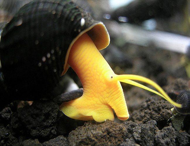 Yellow Antenna Snail
