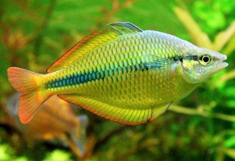 Rainbowfish aquarium fish archives arizona aquatic gardens for Turquoise rainbow fish