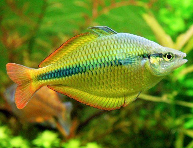 Yellow rainbowfish tropical fish arizona aquatic gardens for Tropical rainbow fish
