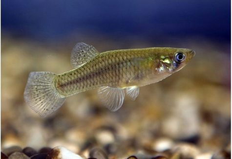 Natural mosquito control mosquitofish and gambusia for Mosquito fish for sale