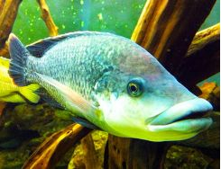 Monster Zoological Exhibit Size Fish