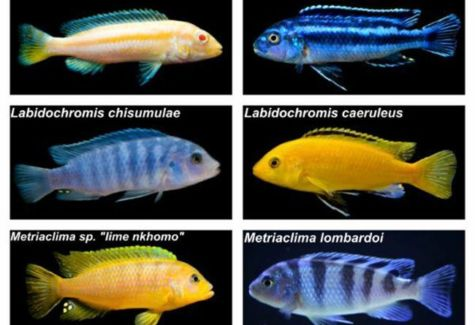 #1 African Cichlid Assortment SPECIAL