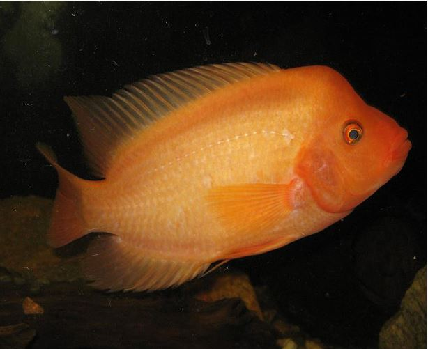 Red Devil Gamefish