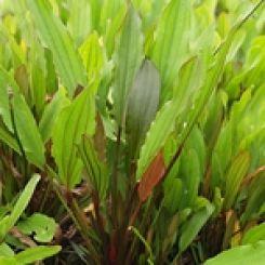 Sword Aquarium Plants