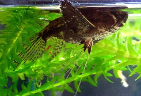 Pantodon buchholzi archives arizona aquatic gardens for Butterfly fish freshwater