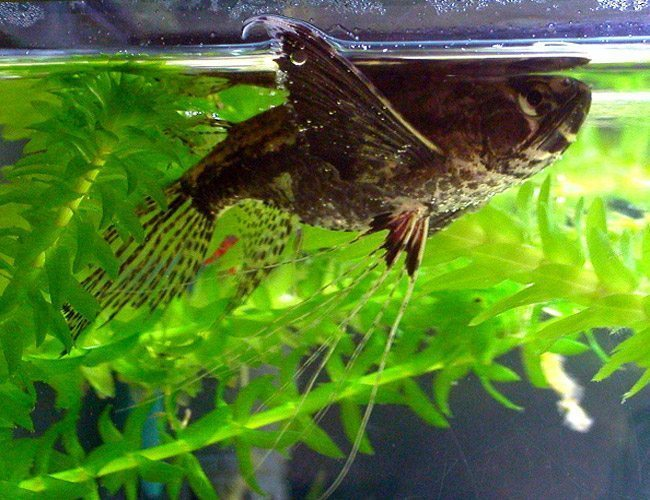 African Butterfly Freshwater Aquarium Fish