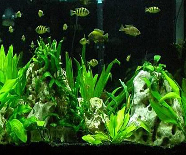 African Cichlid Packs for Planted Aquariums