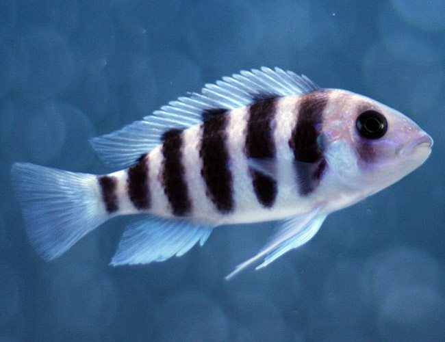 African Frontosa Cichlid large