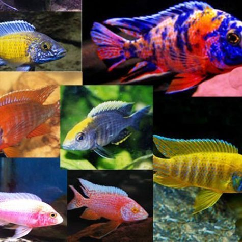 African Peacock Cichlids