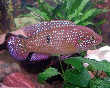 African Red Jewel Cichlid Aquarium Fish Arizona Aquatic Gardens
