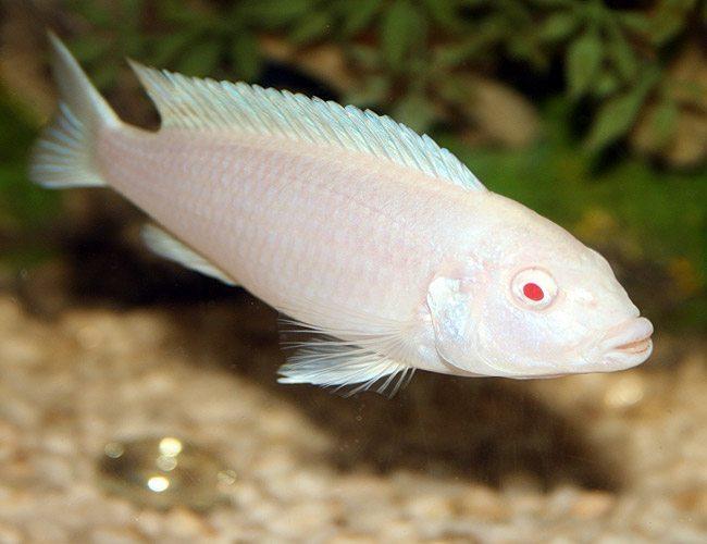 Albino Cichlid White Zombie or Snow White