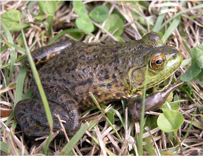 American Bullfrog Tadpoles