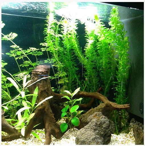 Anacharis or Egaria densa Bunched Aquarium Plant 2