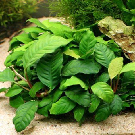 Anubias Coffeefolia Aquarium Plant