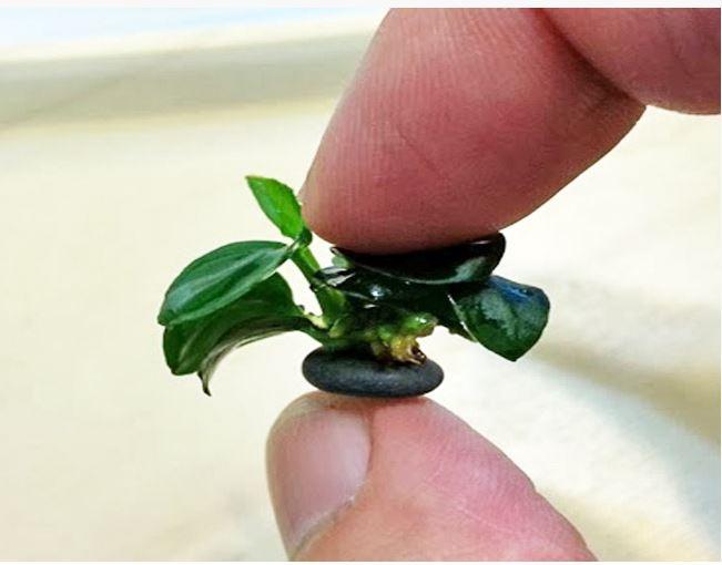 Anubias nana petite 1 2 tall aquarium plant arizona for Petit aquarium
