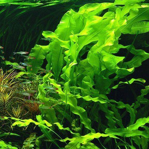 Aponogeton Assortment 10-pack Aquarium Plants