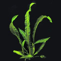 Aponogeton Aquarium Plants