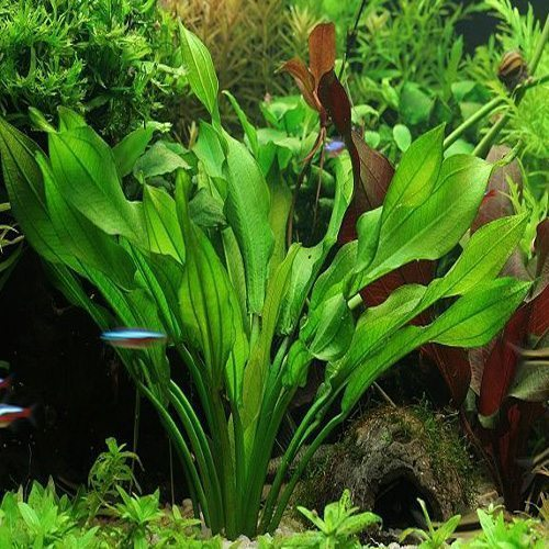 Assorted Common Sword Aquarium Plant