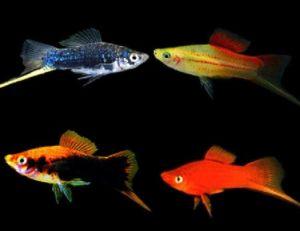 Assorted Swordtail  Live-bearer Aquarium Fish
