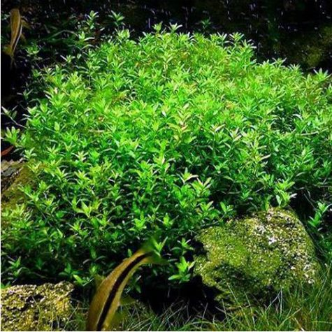 Baby Tears Pearlweed Bunched Aquarium Plant