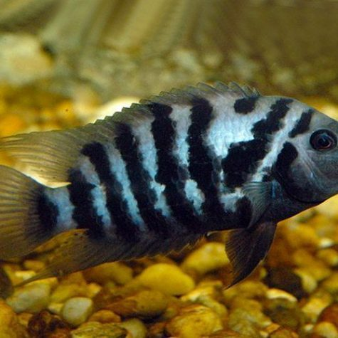Black Convict Cichlid, Freshwater Aquarium Fish
